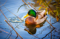 Male duck. Swimming in blue lake Stock Image