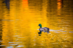 Male duck. Swimming in blue lake Royalty Free Stock Image