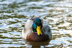 Male duck swimming comfortably on the river. A Male duck swimming comfortably on the river Stock Photo