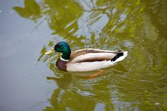 Male duck in the lake. Male duck swimming in the lake on Cismigiu Park Bucharest Stock Images