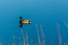 Male duck swimming in the pond very slowly. A male duck swimming in the pond very slowly Stock Photography