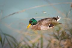 Male duck is swimming in a river, blue water and blurry copse. Male duck is swimming in the colourful blue river bird animal water wildlife lake indian maple stock photography