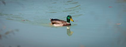 Male duck is swimming in a river, blue water and blurry copse. Male duck is swimming in the colourful blue river bird animal water wildlife lake indian maple stock images