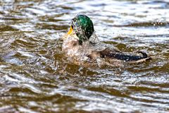 Male duck swims on the river Saale and dives again and again. A Male duck swims on the river Saale and dives again and again Stock Photo
