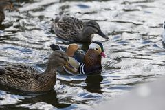 A male duck and two female ducks. Are looking for food in the lake Stock Image