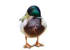 Male duck on white background. Wild male duck on white background Stock Photography