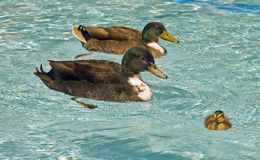 Male Ducks with Baby. Baby duck taking first swim with male ducks guarding Royalty Free Stock Photos