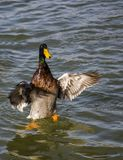 Courting ducks Stock Photography