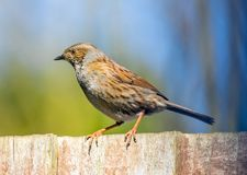 Male dunnuck on garden fence. A male sparrow sitting on a garden fence Royalty Free Stock Photography