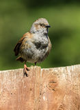 Male dunnuck on garden fence. A male sparrow dunnuck sitting on a garden fence Stock Image
