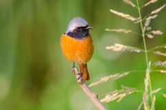 Male Durian Redstart Posing on a branch, Hong Kong Royalty Free Stock Photos