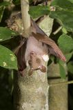 Male dwarf epauletted fruit bat (Micropteropus pussilus) hanging in a tree. Ghana Royalty Free Stock Images