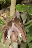 Male dwarf epauletted fruit bat (Micropteropus pussilus) hanging in a tree. Ghana Stock Images