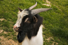 Male of dwarf tibetan goat. In the farm Stock Images
