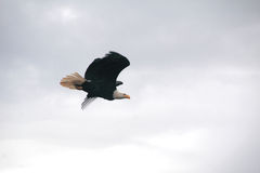 Male Eagle in Flight Royalty Free Stock Photo