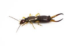 Male Earwig Royalty Free Stock Photos