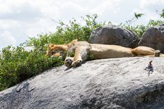 Male East African lion and Mwanza flat-headed rock agama on a rock. Male East African lion Panthera leo melanochaita, species in the family Felidae and a member Royalty Free Stock Photography