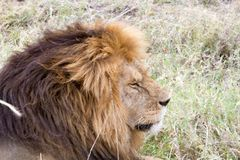 Male East African lion (Panthera leo melanochaita). Species in the family Felidae and a member of the genus Panthera, listed as vulnerable, in Serengeti Stock Photography