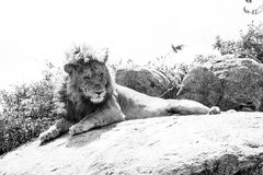 Male East African lion on a rock in black and white. Male East African lion Panthera leo melanochaita, species in the family Felidae and a member of the genus stock image