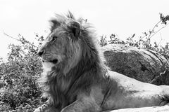 Male East African lion on a rock in black and white. Male East African lion Panthera leo melanochaita, species in the family Felidae and a member of the genus stock photos