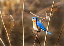 Male Eastern Blue Bird. Perched on marsh grass Stock Photo