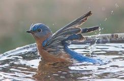 Male Eastern Blue Bird. A make Eastern Bluebird splashing in a bird bath Stock Photography