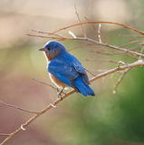Male Eastern Bluebird Stock Photos