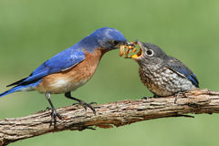 Male Eastern Bluebird With Baby Royalty Free Stock Photography