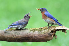 Male Eastern Bluebird With Baby Stock Images
