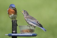 Male Eastern Bluebird With Baby. Male Eastern Bluebird (Sialia sialis) with his hungry baby stock image