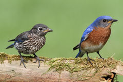 Male Eastern Bluebird With Baby. Male Eastern Bluebird (Sialia sialis) with his baby royalty free stock images