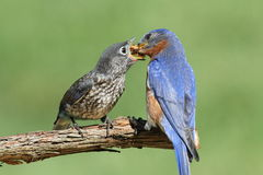 Male Eastern Bluebird With Baby Stock Photo