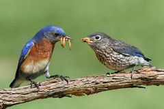 Male Eastern Bluebird With Baby Stock Image