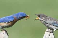 Male Eastern Bluebird With Baby Royalty Free Stock Photos
