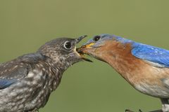 Male Eastern Bluebird With Baby Royalty Free Stock Image