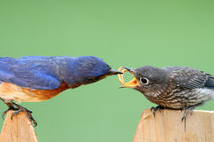 Male Eastern Bluebird With Baby. Male Eastern Bluebird Sialia sialis feeding his hungry baby royalty free stock photography