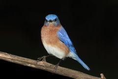 Male Eastern Bluebird on Black Royalty Free Stock Image