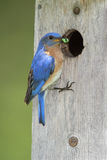 Male Eastern Bluebird Bringing a C Royalty Free Stock Photos