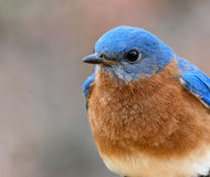 Male Eastern Bluebird close up. Male Eastern Bluebirds are a brilliant royal blue on the back and head, and warm red-brown on the breast Royalty Free Stock Image
