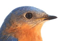 Male Eastern Bluebird Stock Photography