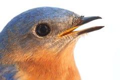 Male Eastern Bluebird Stock Photography