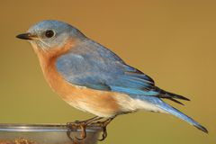 Male Eastern Bluebird on a Feeder Royalty Free Stock Image