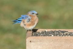 Male Eastern Bluebird on a Feeder Royalty Free Stock Photos