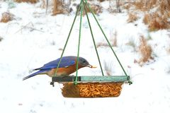 Male Eastern Bluebird on a Feeder Royalty Free Stock Photography