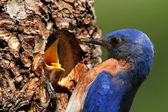 Male Eastern Bluebird Feeding A Baby Royalty Free Stock Photos