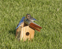 Male Eastern Bluebird Feeding Fledgings Stock Photos