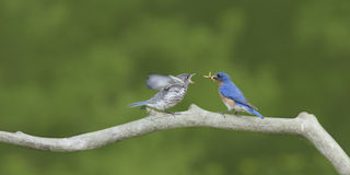 Male Eastern Bluebird Feeding Open-Mouthed Fledgling Stock Images