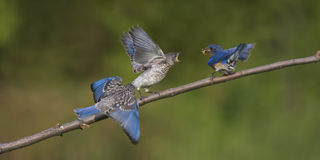 Male Eastern Bluebird Feeding Young Royalty Free Stock Photography