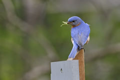 Male Eastern Bluebird with a Grasshopper in its Beak Stock Images