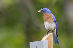 Male Eastern Bluebird with a Grasshopper in its Beak Royalty Free Stock Photography